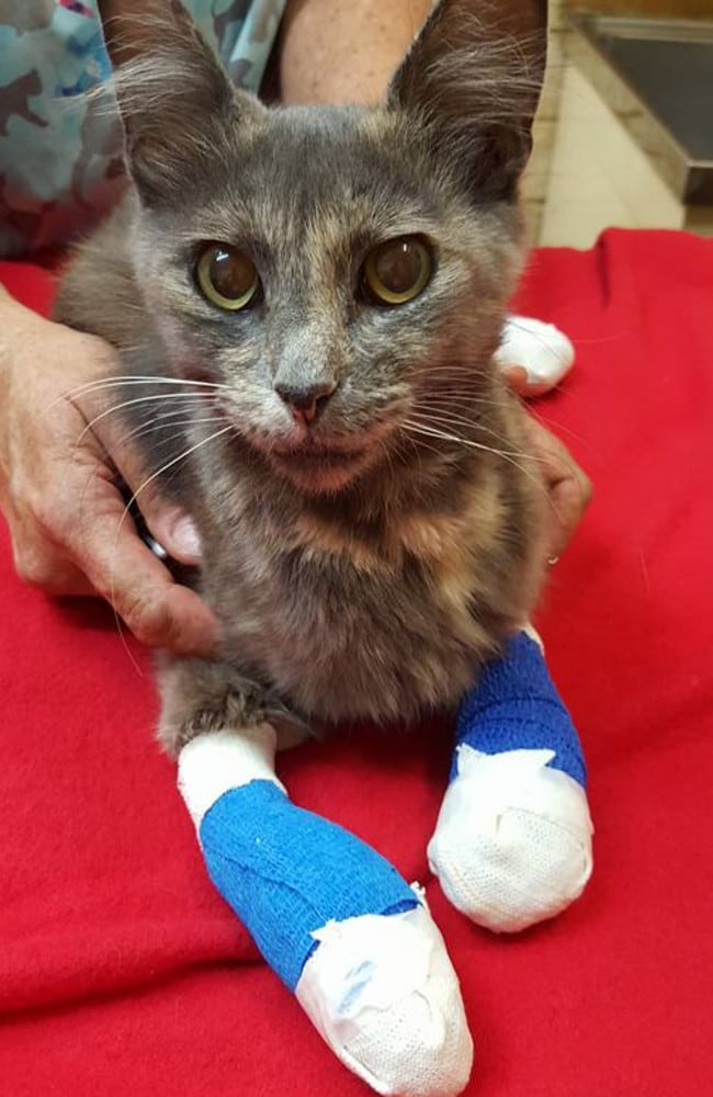 On the mend. This cat suffered terrible burns to its paws during the bushfires around Yarloop in Western Australia. Picture: Facebook/Waroona Veterinary Clinic.