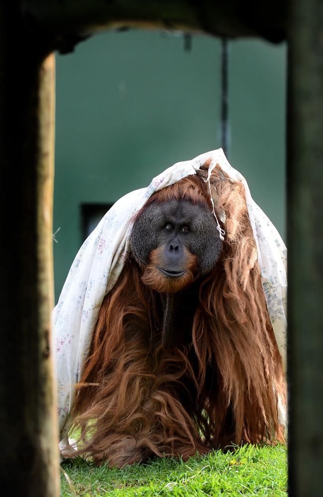 Proud-hopefully-dad-to-be Kluet keeps warm and his dreadlocks dry with his favourite sheet at Adelaide Zoo. Picture: Mark Brake