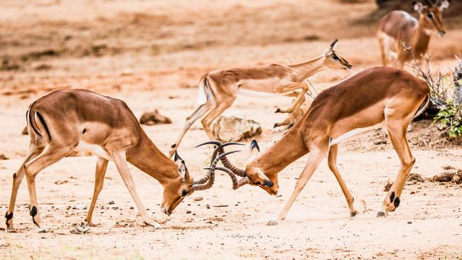 Turf wars ... Two impalas fight for dominance. Picture: Robert Irwin