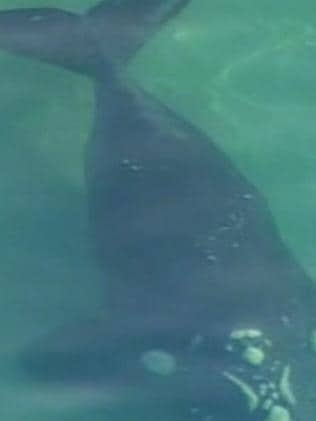 Another view of the whale taken from the 7 News chopper. Picture: Twitter/@lynnescrivens