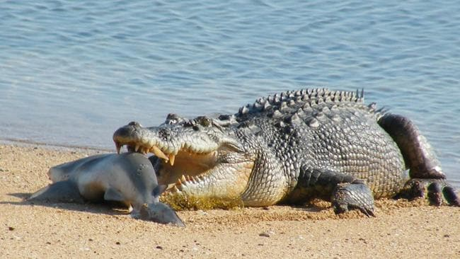 A crocodile eats a shark after stealing it from a fisherman on the beach at Cobourg Peninsula in the NT. Picture: NT NEWS