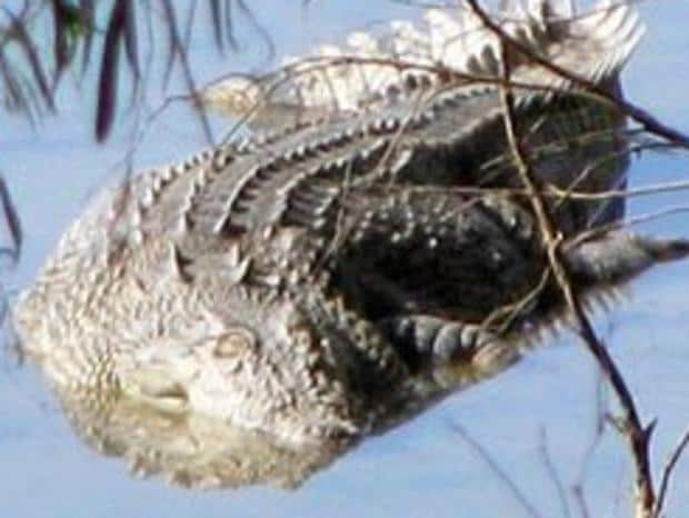 A 5.2m croc has been found dead, shot in the head in the Fitzroy River. Picture: Contributed