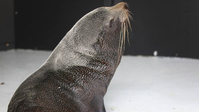 A fur seal recovers after an eventful day at Melbourne Zoo. Picture: Jake Nowakowski
