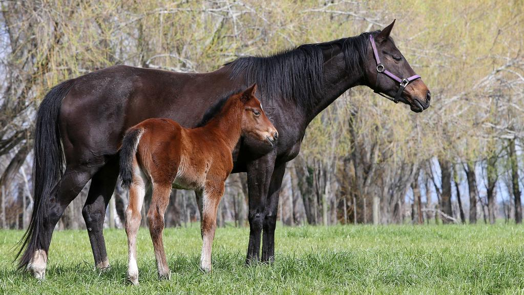 A mare and foal at the Armidale Stud at Carrick in northern Tasmania. Picture Chris Kidd