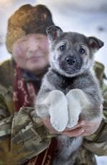 An East Siberian Laika puppy Village of Oymyakon, which is considered to be the coldest permanently inhabited settlement in the world. Picture: Amos Chapple/REX/Shutterstock/Australscope