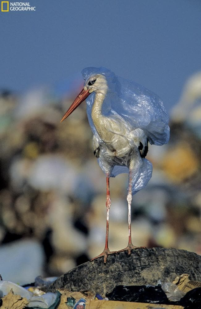 A stork engulfed by a plastic bag at a landfill in Spain. Picture: John Cancalosi/National Geographic