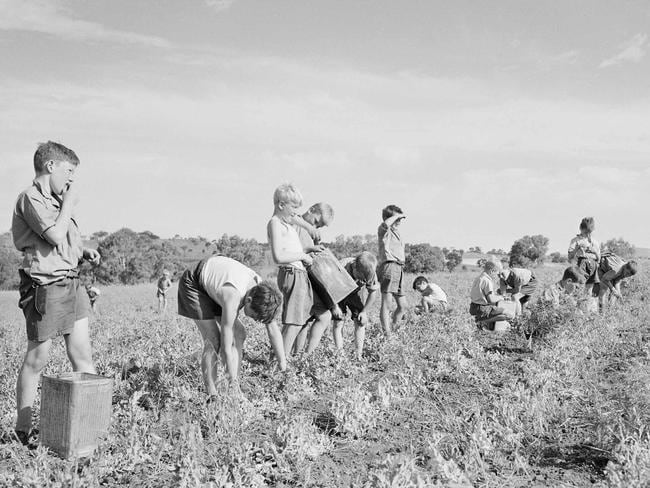 'Little baby convicts' ... child migrants picking peas at the Fairbridge Farm School at Molong in central west NSW in 1950s. Picture: National Archives of Australia