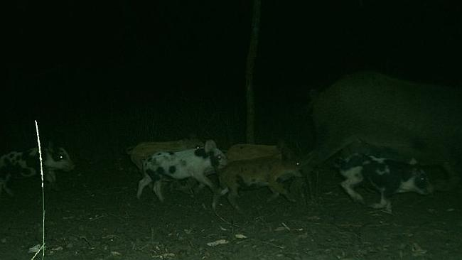 Hunted: They may look small and sweet, but these feral pigs cause massive amounts of damage.