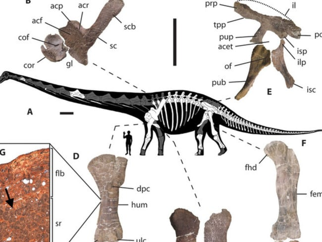 Body silhouette ... this reconstruction shows the appendicular skeletal anatomy and bone histology of the Dreadnoughtus. Picture: Scientific Journal