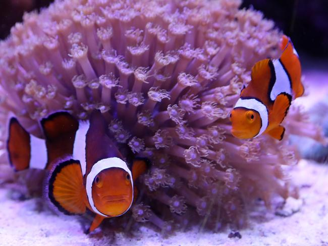 Clown fish at the Seaview Aquarium Centre. Picture: Calum Robertson