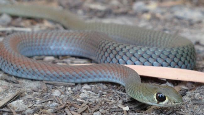 A Yellow-faced whip snake can often be mistaken for a brown snake because of its colour.