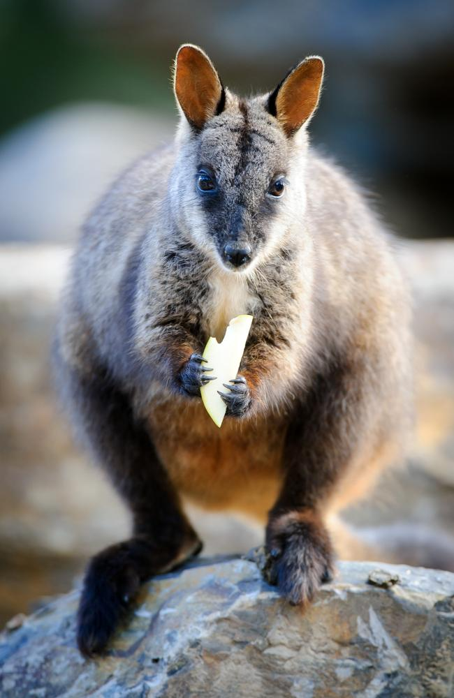 An older brush tailed rock wallaby.