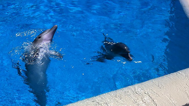 Dolphins at the Mirage, Las Vegas. Picture: Kate Schneider
