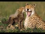 A delighted cheetah mother gets peck on the cheek from her eight week old cub in Maasai Mara Reserve, Kenya. Picture: Picture Media
