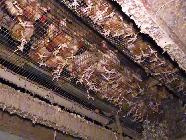 The hens stand on wire mesh, their waste drops below. Picture: Animals Australia
