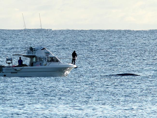 Boaties monitor a whale trapped in the nets of Kirra Groyne this morning. Picture Glenn Hampson