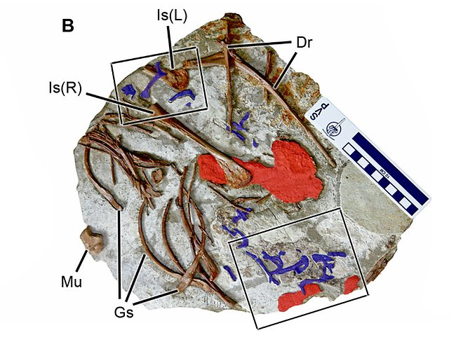 Abdominal contents of Sinocalliopteryx gigas (CAGS-IG-T1) containing Confuciusornis (blue) and unidentified ornithischian (red) remains. Abbreviations: Dr, dorsal rib; Gs, gastralia; Is, ischium; Mu, manual ungula. Picture: PLoS One