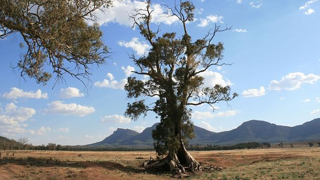 The Cazneaux tree near Wilpena, made famous in a photograph by Harold Cazneaux