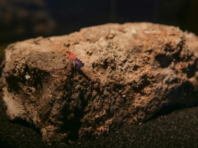 The team grappled with how to preserve the toxic mass and eventually decided to air-dry it, as freezing it would contaminate their equipment. Flies can still be seen living inside the display case. Picture: AFP/ Daniel Leal Olivas
