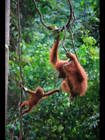 A defiant baby orangutan clings to a tree branch and demands more playtime - as his impatient mother tries to pull him away. The two-year-old made it clear he wanted to be left swinging and climbing the treetops after plucking up the courage to leave her side. Photographer Cyril Ruoso, 43, captured the human-like scene at Gunung Leuser National Park, in Sumatra, Indonesia. Picture: Solent