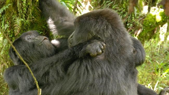 Lesbian sex documented for the first time among gorillas