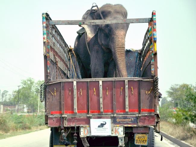 Raju the elephant on a truck on his way to freedom. Picture: Press People/Wildlife SOS