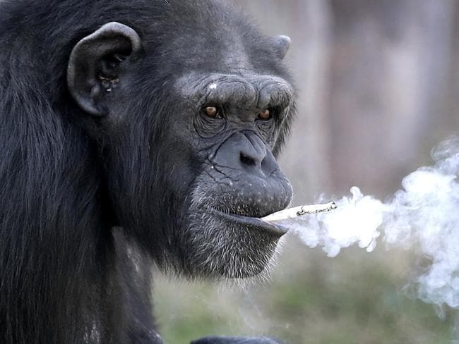 The chimp with a pack-a-day habit