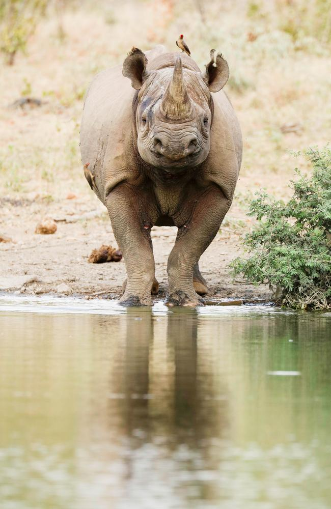 Quick drink ... A black rhino heads to a watering hole. Picture: Robert Irwin