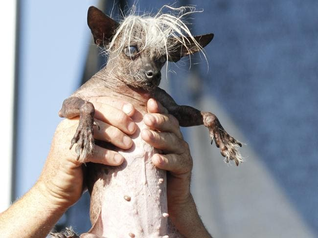 In the running ... SweePee Rambo, a Chihuahua/Chinese Crested mix, is held by her owner during the World's Ugliest Dog Contest in Petaluma, California. Picture: AP