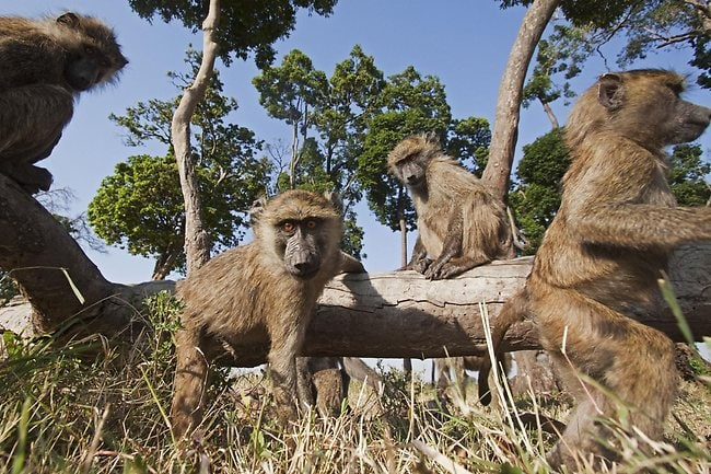 Olive baboon juveniles playing on a fallen tree. Picture: Anup Shah/ www.shahrogersphotography.com
