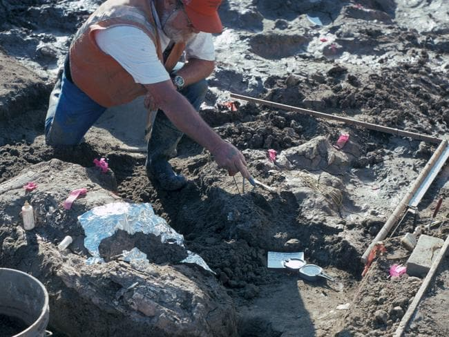 Palaeontologist Don Swanson pointing at rock fragment near a large horizontal mastodon tusk fragment.