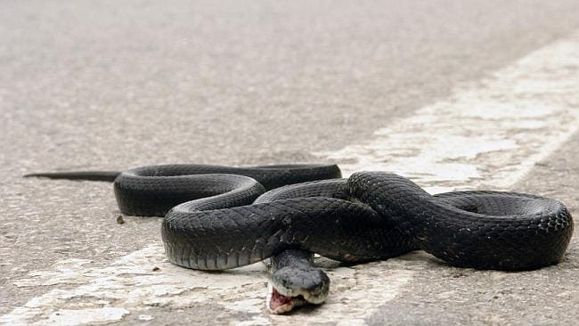 So the snake was in the car for weeks? Argh! Picture: Thinkstock