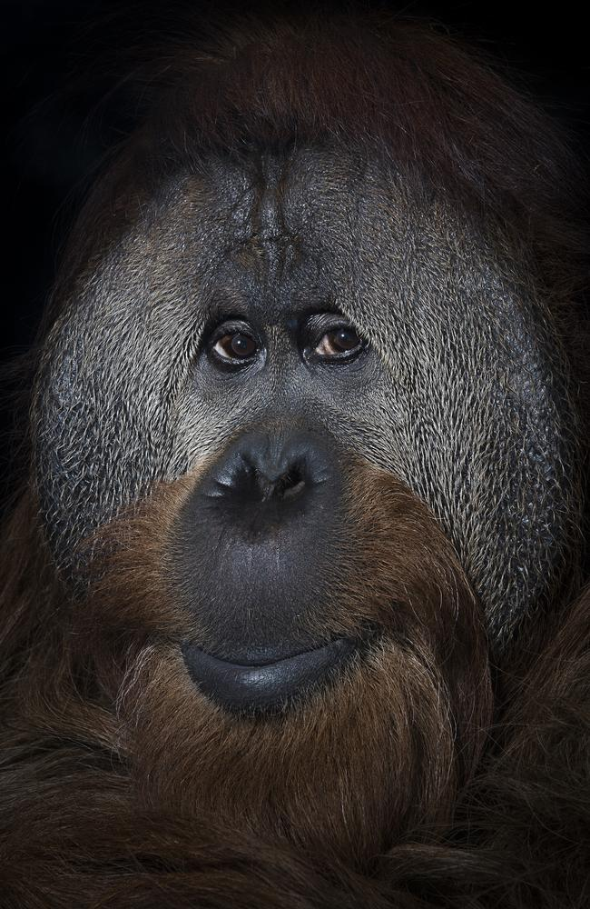 Mark Edward Harris took this photo of 40 year old orang-utan named Azy at the Simon Skjodt International Orangutan Center in Indianapolis, Indiana. Photographic and scientific studies of a group of orang-utans at the Simon Skjodt International Orangutan Center in Indianapolis, Indiana demonstrate the individuality of each primate as well as a clear awareness of self. There is obviously a sentient being looking back through the lens. Orang-utans and humans share 97 per cent of their DNA sequence. Source: Supplied