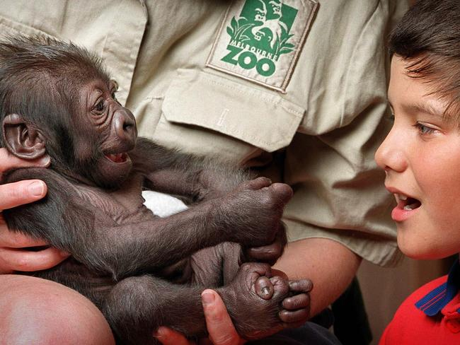 Newborn Yakini being introduced to zoo visitor Jesse Opuni at Melbourne Zoo.