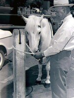 Yes, in the 1950s some government workers rode ponies as they went about their duties across the city. Here, Adelaide park ranger Lance Shattock tethers his pony to a hitching post outside the Adelaide Town Hall in 1955.