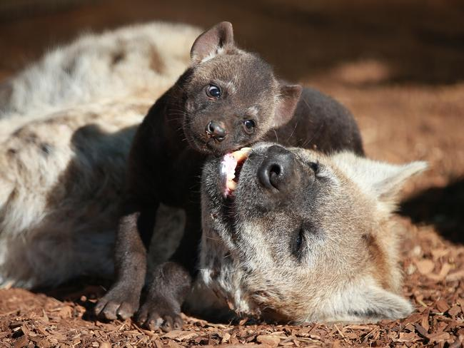A baby Hyena pup takes its first steps from the den this week and relaxed with mother Forest this morning in the winter sunshine. Picture: Dylan Coker