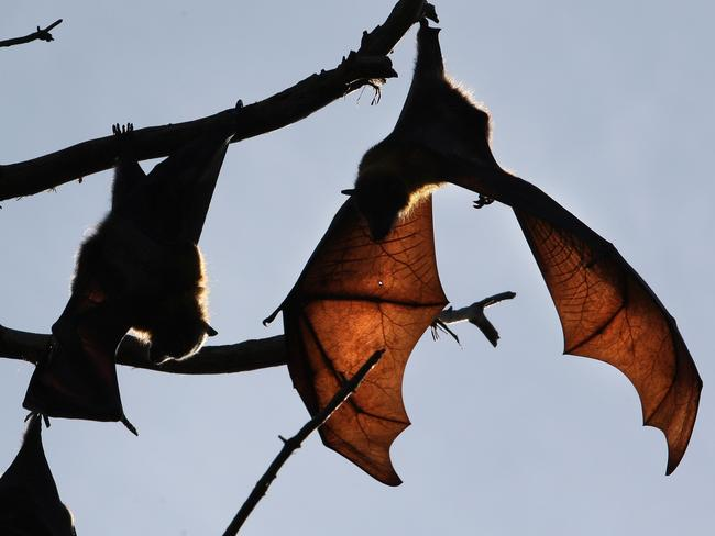 Bats can carry the Ebola virus without dying. Picture: Supplied