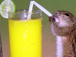 Charlie the tame chipmunk drinking glass of orange juice through a straw at the Triton Hotel in Sri Lanka for /visitors. PicMike/Walker, M&Y/Portsmouth animals tricks chipmunks drink