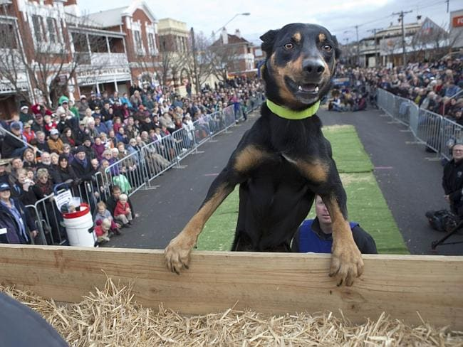 Star attraction ... Tony Wilson's dog Mack doing the Kelpie High Jumo at the Casterton Kelpie Muster in 2012. Picture: Working Dogs / Andrew Chapman and Melanie Faith Dove