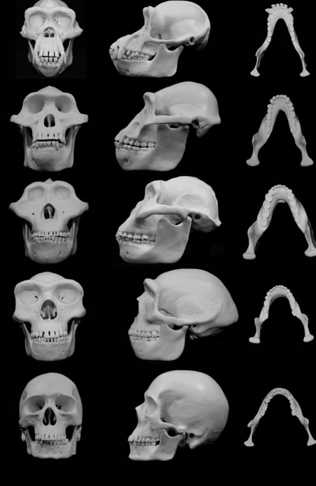 Changing faces ... A University of Utah study shows that human faces — especially those of our australopith ancestors — evolved to minimise injury from punches to the face during fights between males.