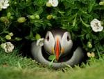 "An Atlantic Puffin emerges from its burrow with a gift on Skomer Island, Wales. ""You are stuck on this island; no food, no water, no electricity; it's just you, your tent and all these birds,"" says Danny Green, who took up the challenge of spending time with puffins for a National Geographic feature. Picture: GDT International Nature Photography Festival 2014/Danny Green"