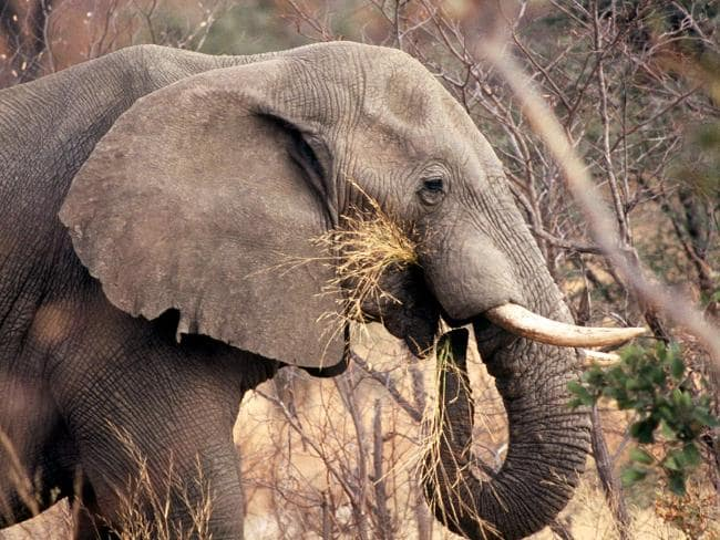 An African elephant in native habitat in Zimbabwe's Hwange national park. Picture: Supplied