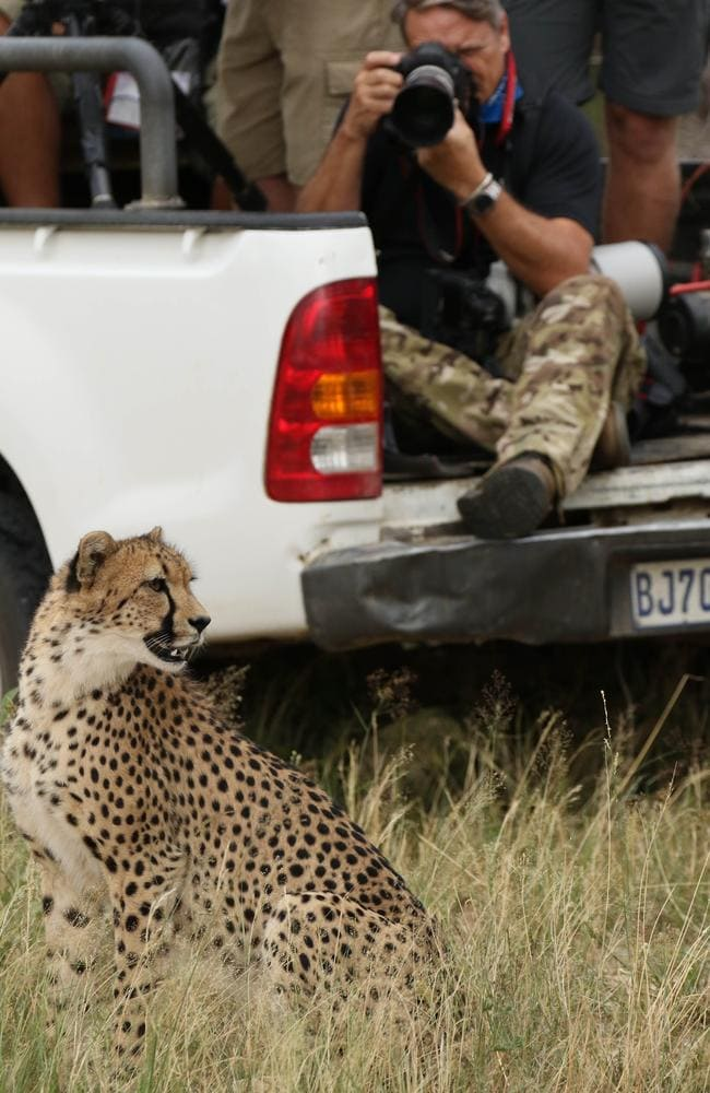 Running mate ... The I'm a Celebrity crew attracted the attention of a cheetah Picture: Robert Irwin