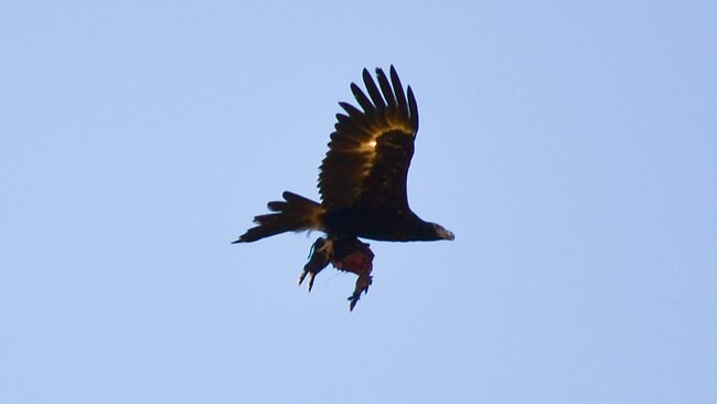 Wedge-tailed eagle photographed carrying feral pig at Alligator Creek Picture: Morris Troy