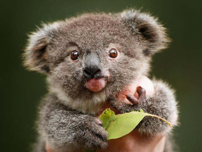 Bizarre: A koala was found dead outside a police station with $50 in its mouth. Picture: Toby Zerna