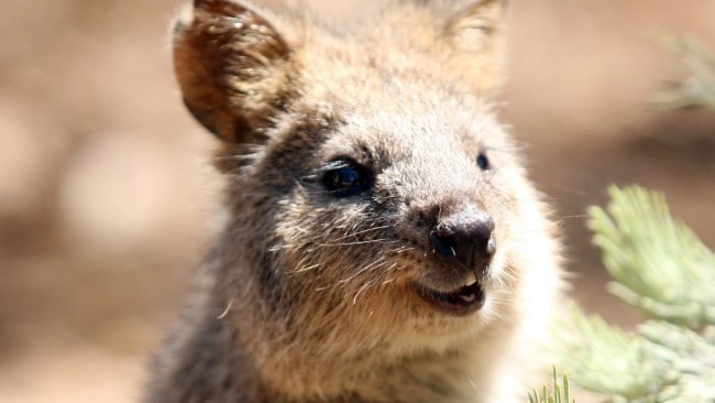 Island officials in WA are on the hunt for a missing quokka that likely escaped via a garbage barge. Picture: Supplied.