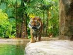 AdelaideNow reader Lee Venus took this picture of a Sumatran tiger at Adelaide Zoo