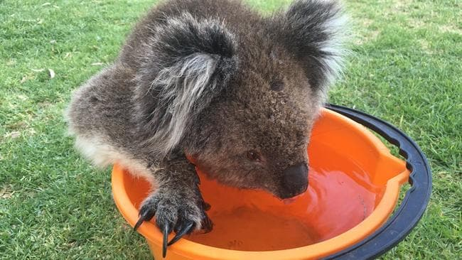 Advertiser journalist Craig Cook took these pics of a koala today, drinking some water during a hot afternoon at the Mitcham Primary Reserve. Picture: Craig Cook