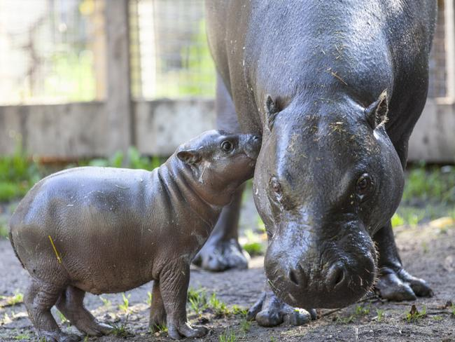 Baby Olivia cuddles up to mummy Krakunia. Picture: Parken Zoo
