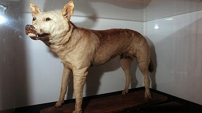 The 'Tantanoola Tiger' - a stuffed Assyrian Wolf on display at the Tantanoola Hotel.